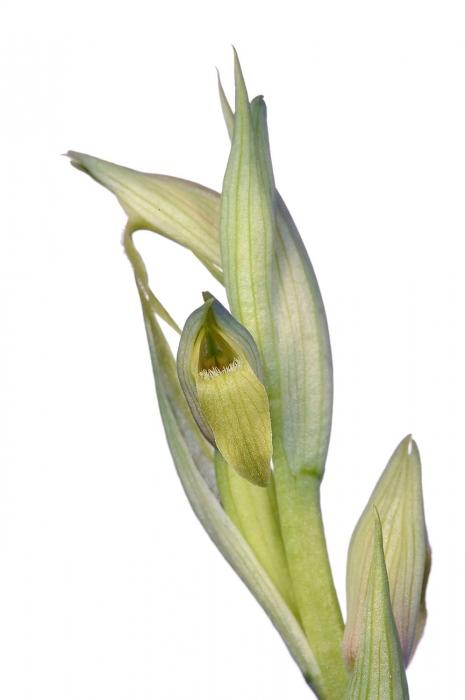 <i>Serapias parviflora</i> (hipocromàtica). Gallet.