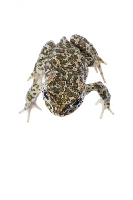<i>Bufotes balearicus.</i> Balearicus green toad.