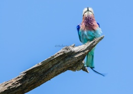 Lilac-breasted Roller (Coracias caudatus). Namibia