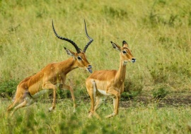 Impalas (Aepyceros melampus). Serengeti National Park
