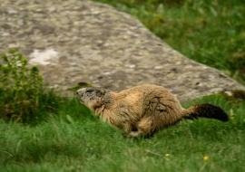 Marmota (Marmota marmota)