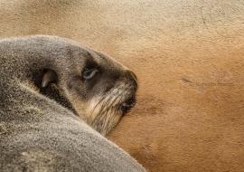 Lobo marino del Cabo  (Arctocephalus pusillus pusillus)