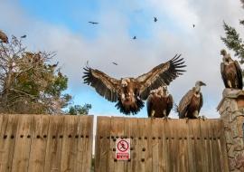 Vultures (Gyps fulvus) and Forbidden step. Mas de Bunyol. Valderrobres