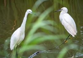 Little egret (Egretta garzetta) Sebes Natural Reserve. Flix. Tarragona