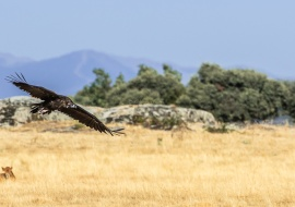 The flight of the black vulture (Aegypius monachus). Sierras de Béjar y Francia Biosphere Reserve