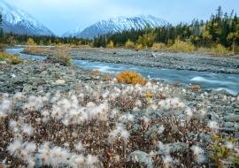 Dryas octopetala at Quill Creek. Haines Junction. Yukon