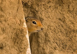 Arctic ground squirrel (Spermophilus parryi)
