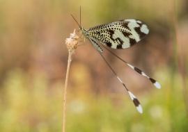 Nemoptera bipennis. Sierras de Béjar y Francia Biosphere Reserve