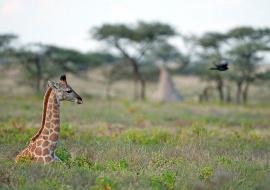 Giraffe (Giraffa cameopardalis). Etosha