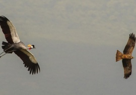 Grey Crowned Crane (Balearica regulorum) and Black Kite (Milvus migrans)