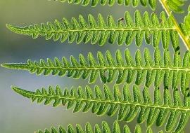 Helecho común (Pteridium aquilinum)