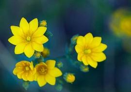 Centaurea amarilla (Blackstonia perfoliata)