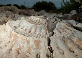 Ammonites fossil. Serra de Vandellós