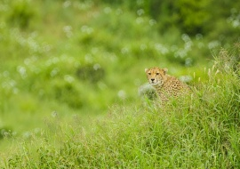 Cheetah (Acinonyx jubatus). Tarangire National Park