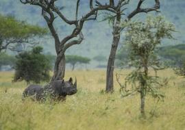 Rinoceronte negro (Diceros bicornis). Serengeti. Tanzania