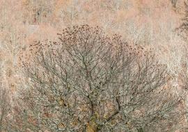 Spanish chestnut (Castana sativa) at fall. Sierras de Béjar y Francia Biosphere Reserve
