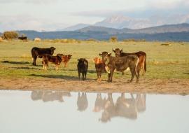Cows at dawm. Sierras de Béjar y Francia Biosphere Reserve