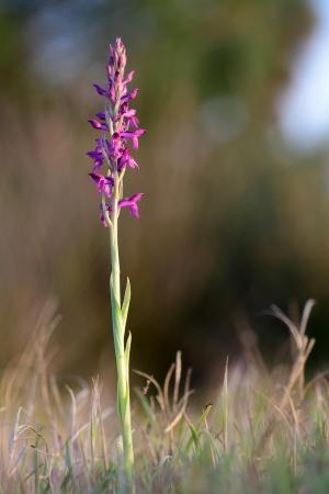 Orquis x albuferensis