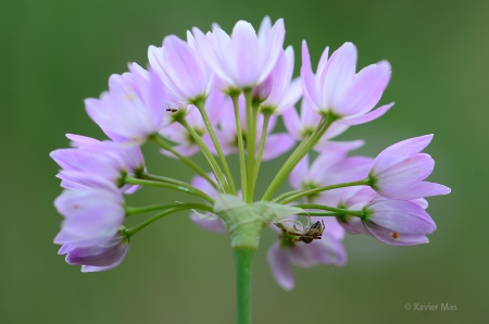 Allium roseum. Ibiza.