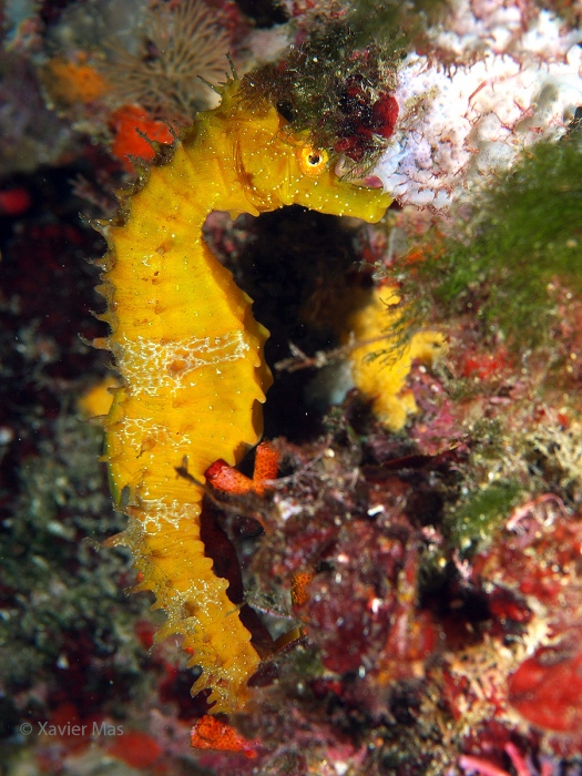 Caballito de mar (Hippocampus guttulatus). Ibiza.