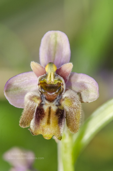 Ophrys bombyliflora x tenthredinifera