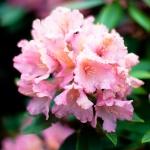 Fotografía rosa